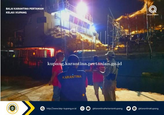 Ratusan Ekor Sapi Timor Berlayar ke Samarinda